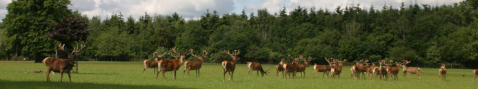 Red Deer in Warnham Park